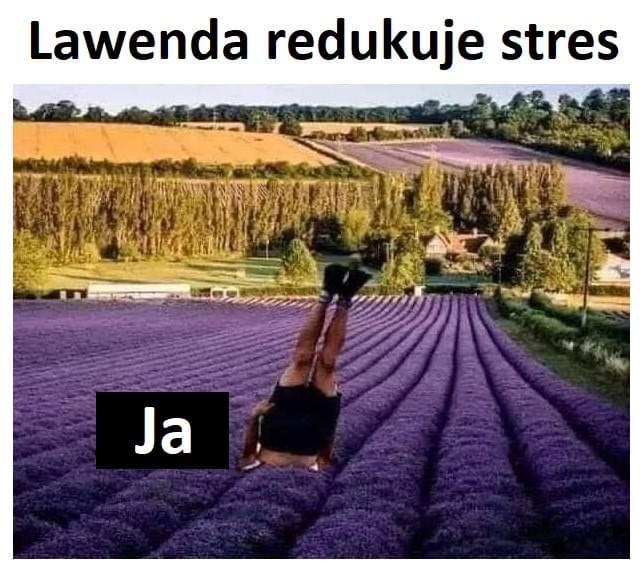 Lawenda redukuje stres